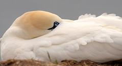 A White Bird (Nephentes Phinena ☮) Tags: basstölpel birds helgoland nordsee northsea northerngannet wildlife