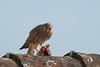 mit Futter: Falco tinnunculus 20170718 a , NGID529297555 (naturgucker.de) Tags: ngid529297555 naturguckerde falcotinnunculus johannisberg unterebrunnengasse carnolaber