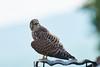 Was schaust du? Falco tinnunculus 20170718  , NGID2139279901 (naturgucker.de) Tags: ngid2139279901 naturguckerde falcotinnunculus johannisberg unterebrunnengasse carnolaber