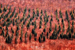 El bosque inquietante (Mimadeo) Tags: pines pine red growth tree trees evergren bush abstract abstractio forest