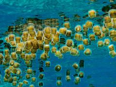 Jellyfish (PacificKlaus) Tags: malapascua visayas cebu philippines underwater ocean nature scuba diving jellyfish cnidarian