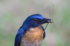 Blue Flycatcher (arthurpolly) Tags: avian avianexcellence abigfave anawesomeshot birds beautiful betterthangood canon eos 7dmk2 elements13 100400is flickrdiamond flycatcher blueflycatcher nature natureselegantshots naturesfinest photoshop platinumphoto unforgettablepictures srilanka travel wildlife exotic yala