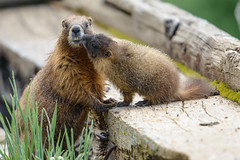 Marmot Affection (Robin-Wilson) Tags: marmot yellowedbellied rockchuck marmotaflaviventris mom baby colorado abandonedmine kiss rockymountains