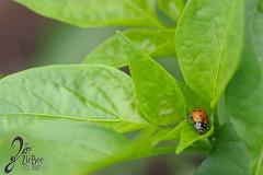 Macro-LadyBugs_211 (ZieBee Media) Tags: ladybug garden