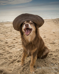 SZP_8925_pslr5 (Lakeside Annie) Tags: 2017 20170719 aussie australianshepherd bethanybeach bethanybeachde bethanybeachdelaware d7100 delaware denali july19 leannefzaras nikon nikond7100 redtri redtriaussie sarazphotography sigma sigma1770mm wednesday beachdog dog sandynose sandypaws beach delawarebeach