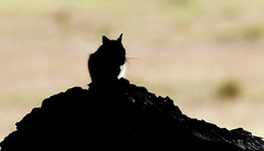 Lonly Sentinal -- Colorado Chipmunk (Tamias quadrivittatus); Santa Fe National Forest, NM, Thompson Ridge [Lou Feltz] (deserttoad) Tags: nature newmexico animal rodent mammal fauna squirrel chipmunk behavior nationalforest mountain