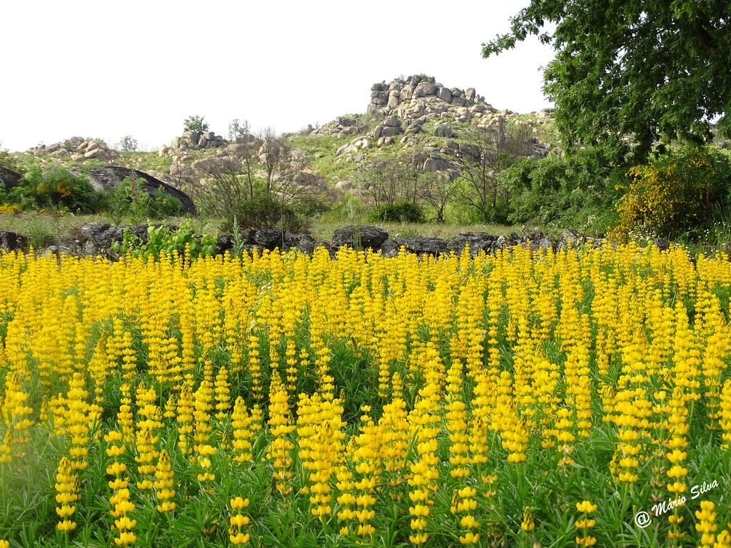 Águas Frias (Chaves) - ... flores campestres amarelas ...