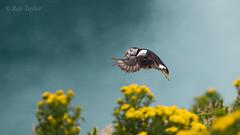 Home Delivery (raytaylor77) Tags: bif bokeh dof flight flowersplants landscape outdoor puffin sandeels skomerisland summer wildlife beach bird feathers sea wings