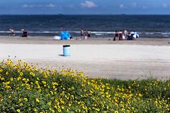 Beach Flowers (minus6 (tuan)) Tags: minus6 nikon d810 85mm galveston texas