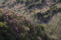 Adelfa (ramosblancor) Tags: naturaleza nature plantas plants botánica botany adelfa nerium neriumoleander flor flower rambla ravine mediterráneo mediterranean sierradecabrera mojácar almería paisaje landscape color verano summer