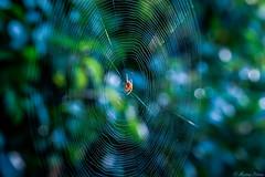 web- master ️ HSS! (martinap.1) Tags: spinne spider spinnennetz spiderweb macro makro nikon nature nikond3300 nikon40mmmacro green grün bokeh web natur blue blau light licht netz sliderssunday hss