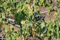Feeding of the small kingfisher (knipslog.de) Tags: kingfisher feeding smallkids chobe choberiver botswana botsuana safari adventure wildlife wild animals selfdrivesafari