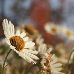 Bouquet ;-) (honiigsonne) Tags: margarite flower leucanthemum bokeh blossom bloom white yellow garden blume blumen blüten weis gelb garten tiefenschärfe dof outdoor outside square bunt plant pflanze colorful