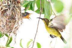 olive-backed sunbird (kampang) Tags: olivebackedsunbird cinnyrisjugularis