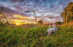 WALKIES! (Rob Pitt) Tags: sunset dog meadow jack russel colour fx pro wirral grass fisheye 8mm hdr effect low little sutton cheshire rob pitt photography