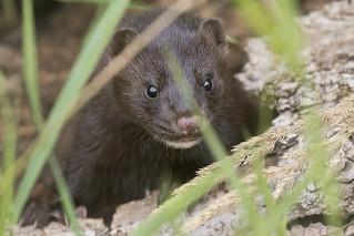 20170723_SteigerwaldLakeNWR_3774-1 Weasel