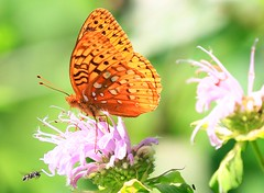great spangled fritillary at Fish Farm Mounds State Preserve IA 854A2153 (lreis_naturalist) Tags: great spangled fritillary butterfly nectaring wild bergamot fish farm mounds state preserve allamakee county iowa larry reis