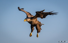 Havørn-0478 (jarud) Tags: 2017 eagle fugl havørn naturopplevelser norge norway smøla whitetailed ørn
