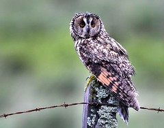Long eared (davy ren2) Tags: mull west coast scotland owl eared long d500 nikon
