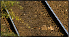 Lazy Bones (jonathancoombes) Tags: fox nature wildlife explore railway train line cub