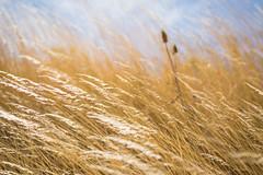Gold Fields (mlee_s) Tags: washington farmland thorp countryside nikon pnw westcoast washingtonstate grass tokina gold