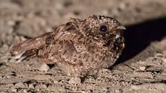 Common Poorwill (Phalaenoptilus nuttallii) - Southern Interior, BC (bcbirdergirl) Tags: relentless persistencepaysoff carheadlights commonpoorwill bc nightjar night poorwill southerninterior phalaenoptilusnuttallii nocturnal pellet