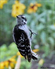 """ My Rescuer ! "" (John Neziol) Tags: jrneziolphotography nikon nikoncamera nikondslr nikond80 nature wildlife wings animal bird bokeh macro brantford blackwhite beautiful portrait outdoor odd downywoodpecker femaledownywoodpecker garden birds bright"