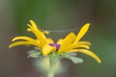Araniella cucurbitina (oudjat45) Tags: araniellacucurbitina araignée verte fleur jaune toile green spider yellow flower macro web v