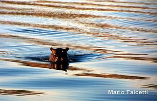 Botswana: Chobe National Park: hippopotamus
