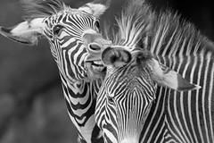 I'm So Happy You're Here! (bnbalance) Tags: bw nature art summer new blackandwhite zebra portrait stripes makemehappy happy encouragement animaladdiction