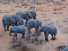 Namibia - Elephant (sharko333) Tags: travel voyage reise africa afrika afrique namibia etoscha animal elephant olympus em1