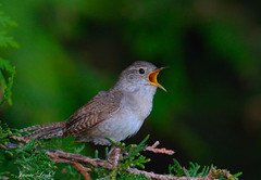 House Wren (Jamie Lenh Photography) Tags: nature wildlife birds housewren nikon d7100 tamron 150600