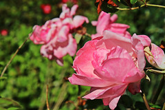 IMG_0716 (jaybluejeans94) Tags: nature flower plant flowers rose wales summer macro amateur
