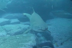 Grey Nurse 3 (sarah.handebeaux) Tags: bondi diving visibility fantastic july shark grey nurse sand tiger ragged tooth sharks big