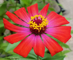 red zinnia (Vicki's Nature) Tags: zinnia red colorful flower blossom yard georgia vickisnature samsung cellphone 124006 july