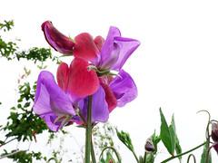 Sweet Pea (DaveC...) Tags: lumix gx80 sweetpea garden closeup petals patterns flowers