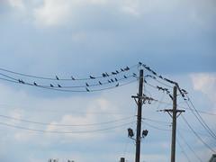Twitter (Josh Rich (boysquadxyz)) Tags: poles wires birds entergy pigeons