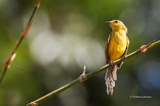 Yellow Tyrannulet (Capsiempis flaveola)