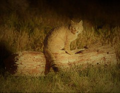 Wilde kat (www.kesterfotografie.nl) Tags: wildekat wildpix donaudelta roemenië