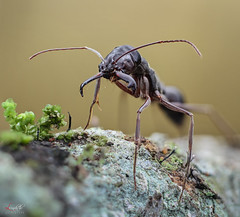 Ant (Le Anh The) Tags: ant insect macro portrait