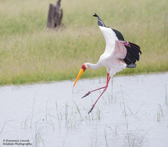 Yellow Billed Stork - Mycteria ibis (rosebudl1959) Tags: 2017 botswana yellowbilledstork moremigamereserve