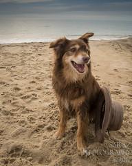 SZP_8920_pslr5 (Lakeside Annie) Tags: 2017 20170719 aussie australianshepherd bethanybeach bethanybeachde bethanybeachdelaware d7100 delaware denali july19 leannefzaras nikon nikond7100 redtri redtriaussie sarazphotography sigma sigma1770mm wednesday beachdog dog sandynose sandypaws beach delawarebeach