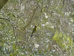 04172017 343a European Greenfinch - Chloris chloris - banded