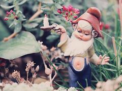 Finding my way Gnome [29/52] (Jam-Gloom) Tags: olympusuk olympusomd olympusomdem5 olympus omdem5 omd em5 uk 60mm28 60mmmacro 60mmmacro28 macro depthoffield bokeh bokehful bokehlicious vintage retro kitsch gnome naughty naughtygnome dwarf dwarves ornament succulents succulent project522017 2017 project52 52weekproject 52weeks weeks week 52 project 29 2952 29of52 week29 aphotoaweek