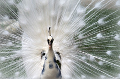 Feathered beauty (Captions by Nica... (Fieger Photography)) Tags: peacock bird feathers white wildlife nature animal outdoor quebec canada montebello