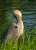 Preening (Digital Aviary) Tags: greatblueheron littlepigeonriver sevierville summer