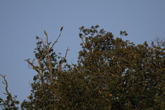 Loriot lointain (floLMA) Tags: loriotdeurope oriolusoriolus eurasiangoldenoriole passériformes oriolidés lauragais fourquevaux