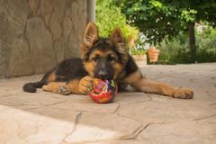 Jacko-3 (Sanz291) Tags: pastor aleman perro mascota fiel bello inteligente cachorro puppy can dog