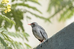 zorzal patirrojo (Turdus plumbeus) (Gogolac) Tags: 2017 aves birdphotography birdie birds canon7dmii fauna location season verano year birdspot birdingrd birdsspotters fotografiasrealizadasenel2017 republicadominicana