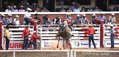 DSC02113 (♥ MissChief Photography ♥) Tags: calgarystampede2017 calgary canada horses bull cowboy bullfighters